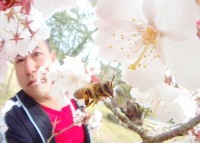 桜とミツバチと私