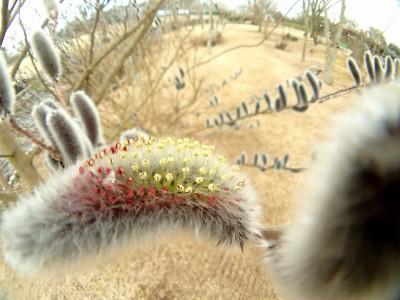 ネコヤナギ花咲く
