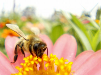ふわふわミツバチさん