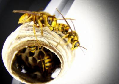 キイロスズメバチは怖いです