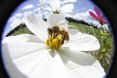 コスモスとミツバチさん