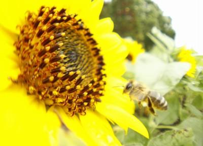 ヒマワリとミツバチさん