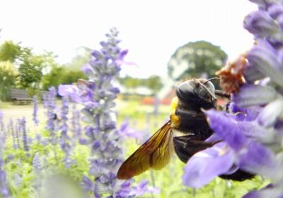 ミツを集めるクマバチさん