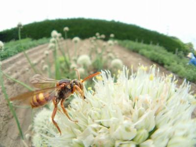 アシナガバチではありません。ハナバチさん