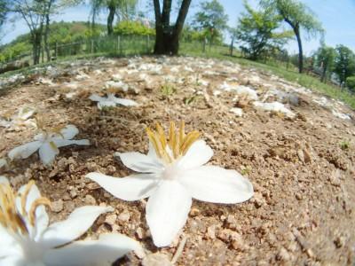 花の命は儚いです