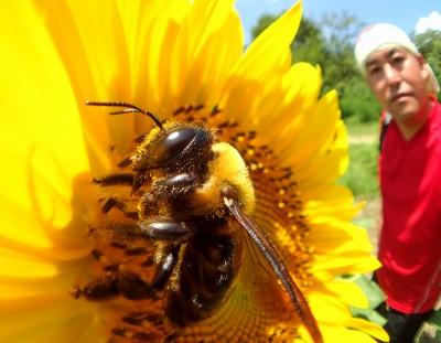 ヒマワリとクマバチさん
