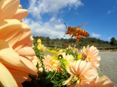 ダリヤとミツバチさん
