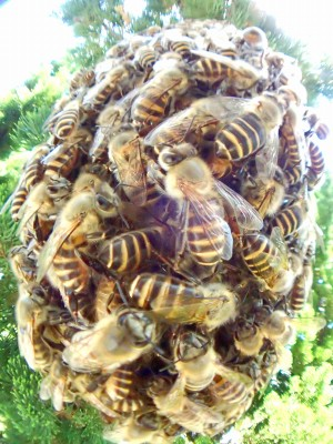 分封蜂球の季節