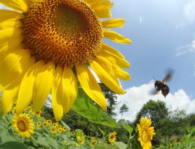 クマバチさん飛びます