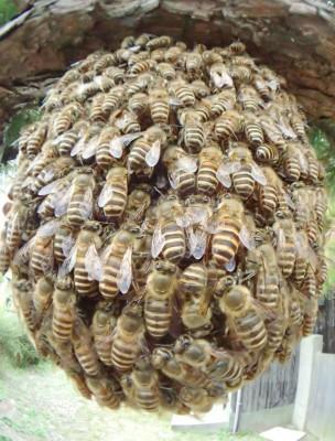 ニホンミツバチ分封蜂球