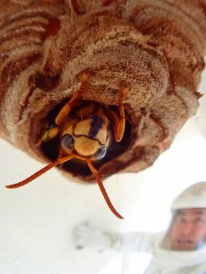 キイロスズメバチと自撮り